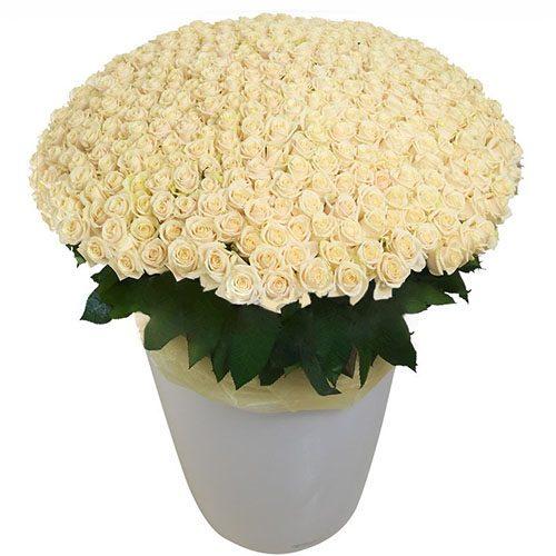 Фото товара 301 біла троянда у великому вазоні во Львове