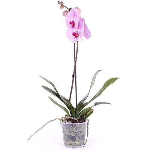 Фото товара Орхідея во Львове
